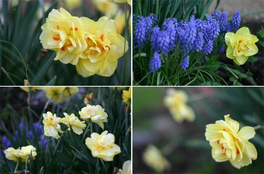 Daffodills006