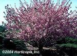 Kwanzan_flowering_cherry_2