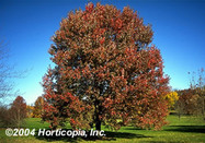 October_glory_red_maple_3_1